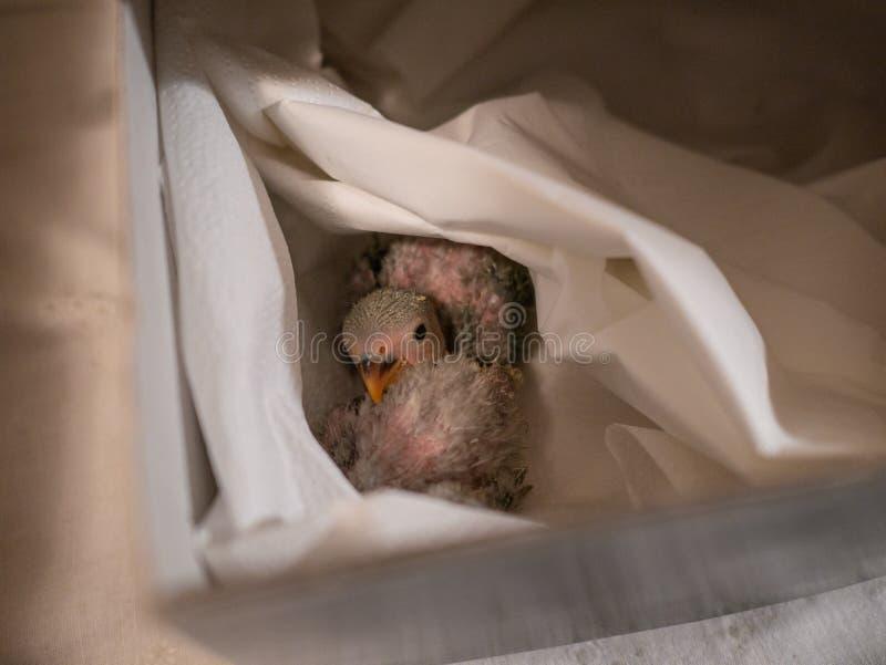 休息在箱子的对爱情鸟 特写镜头 免版税库存图片