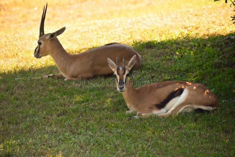 休息在绿色大草原的瞪羚 瞪羚能在布什庭院到达55英里每小时的速度 免版税库存图片