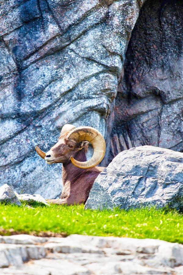 休息在落矶山的大角野绵羊 免版税库存照片