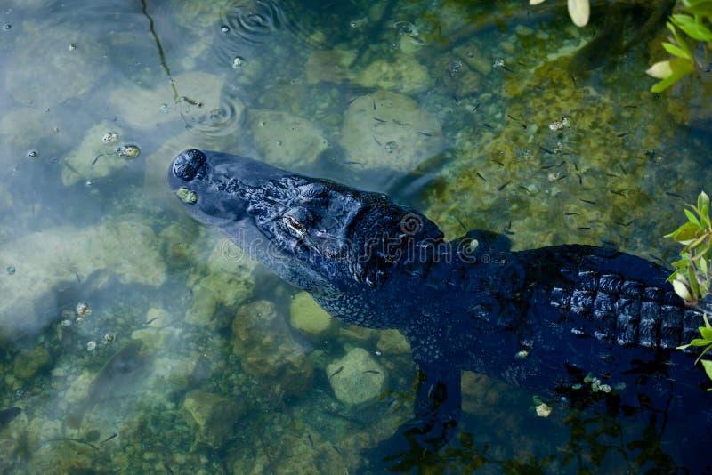 休息在蓝色孔中水域的美国短吻鳄  库存照片