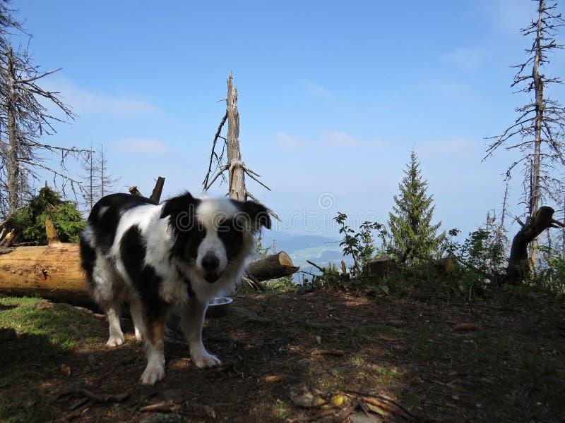 休息在远足的狗在山期间 免版税库存照片