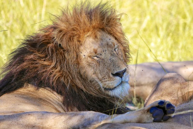 休息在马塞人玛拉的公狮子 免版税库存图片