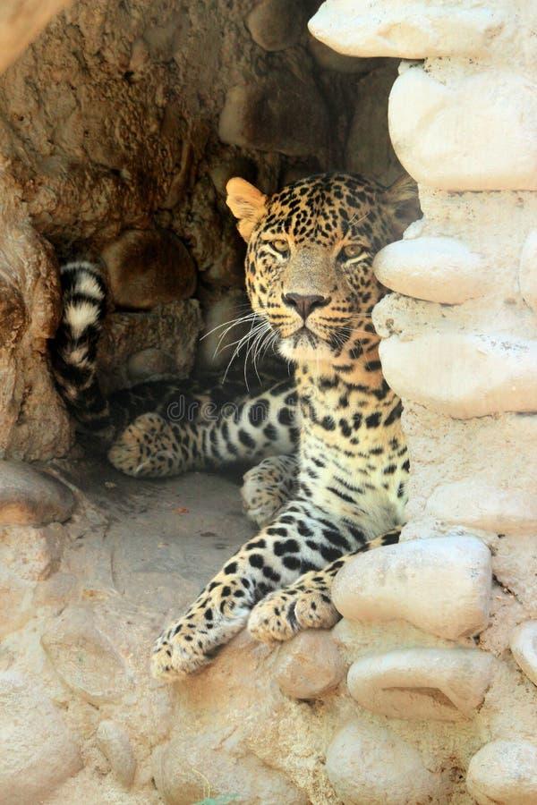 休息在洞的豹子 库存照片