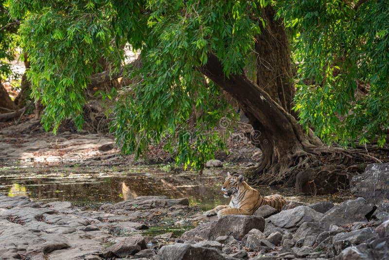 休息在Java凉爽的微风的洋李下树荫的野生母老虎的栖所图象在热的夏天下午在Ranthambore 库存照片