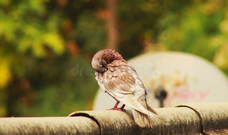 休息或睡觉在屋顶的鸽子 免版税库存图片