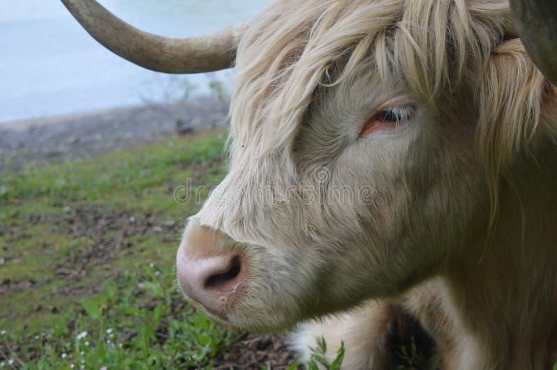 休息的公牛 免版税库存图片