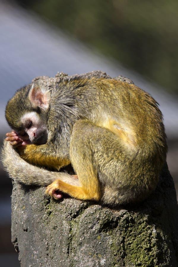 休息的共同的松鼠猴子,松鼠猴属sciureus, 库存照片