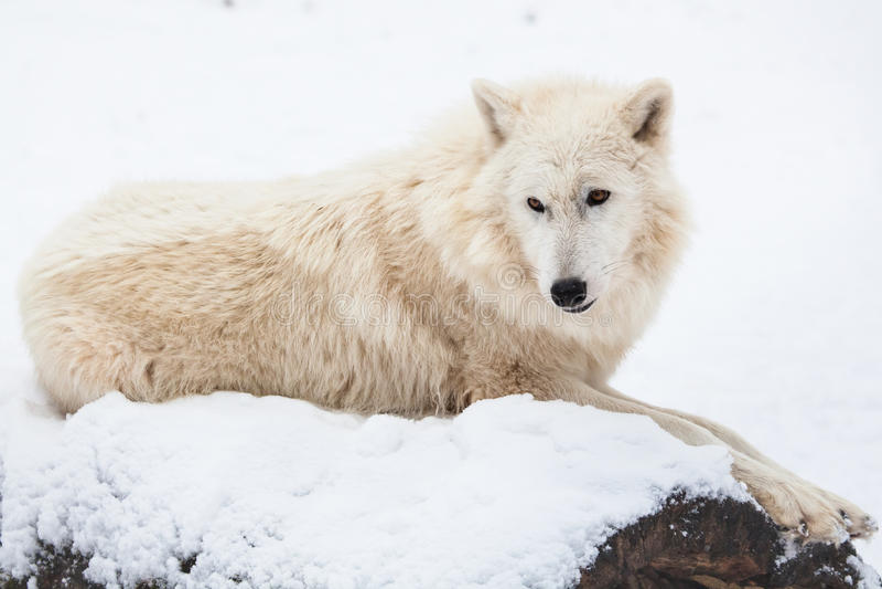 休息的北极狼 免版税库存图片