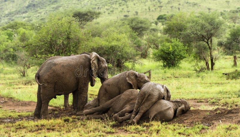 休息的大象牧群,塞伦盖蒂,坦桑尼亚 免版税库存照片