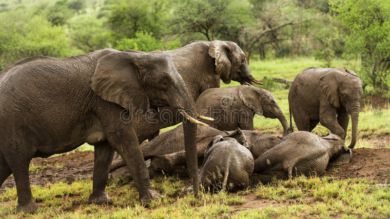 休息的大象牧群,塞伦盖蒂,坦桑尼亚 免版税库存图片