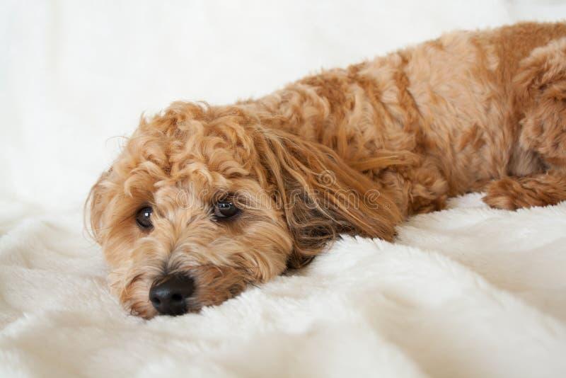 休息的小狗 图库摄影