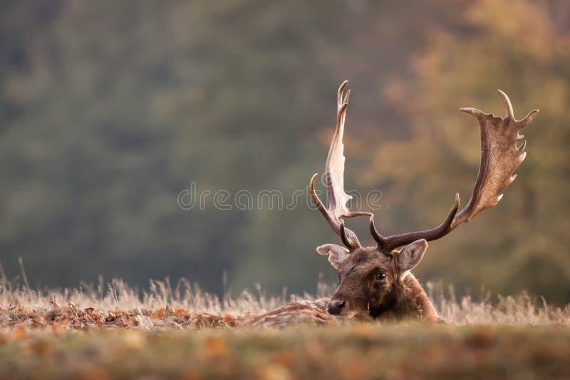 休息的小鹿 免版税库存照片