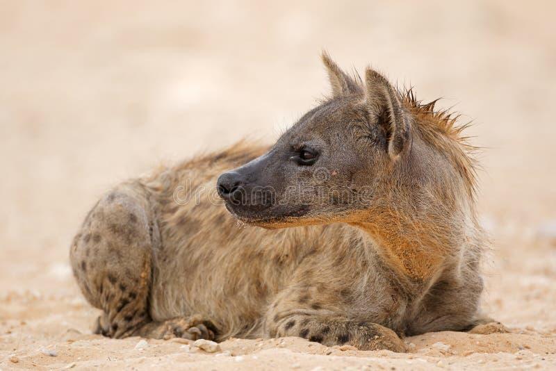 休息的斑点狗-喀拉哈里沙漠 库存图片