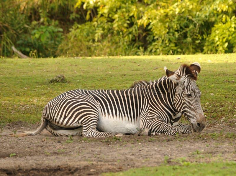 休息的斑马 免版税库存图片