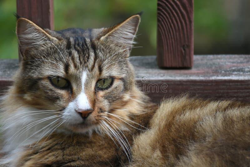 休息的杂色猫 免版税图库摄影