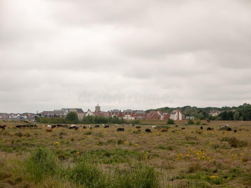 休息的母牛的领域在农场土地草草甸的在阴云密布之外 免版税库存图片