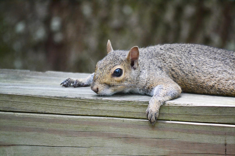 Download 休息的灰鼠 库存照片. 图片 包括有 坦帕, 休息, 动物园, 灰鼠, browne, 范围, 木头, 佛罗里达 - 62530056