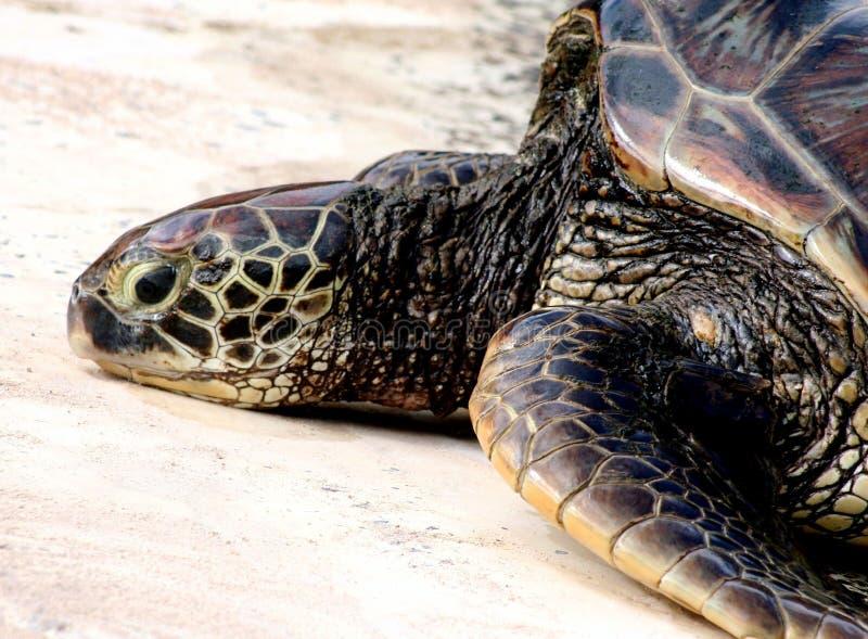 休息的绿浪乌龟 免版税图库摄影