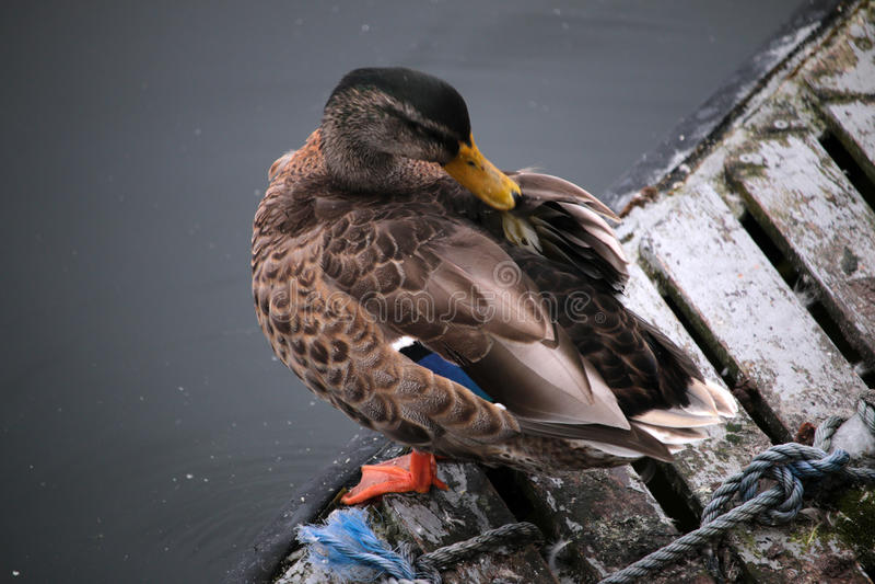 休息的野鸭 免版税库存照片