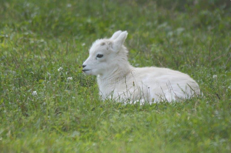 休息野绵羊羊羔的夏天 免版税库存图片