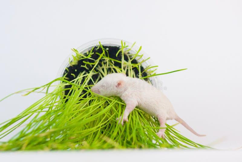 休息鼠的概念在绿草睡觉 图库摄影
