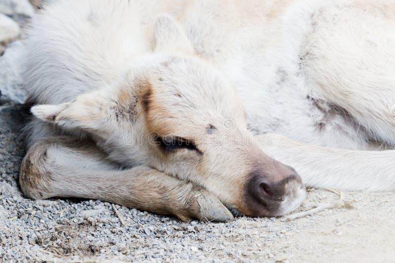 休眠北美驯鹿 库存照片