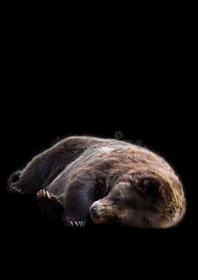 休眠熊 库存照片