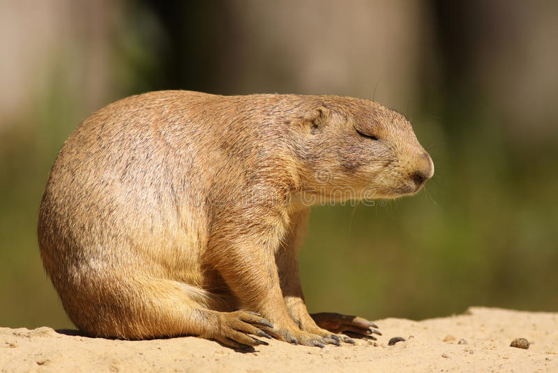 休眠的草原土拨鼠,当坐时 免版税库存图片