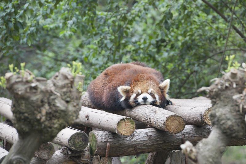休眠红熊猫在成都,中国 免版税库存照片