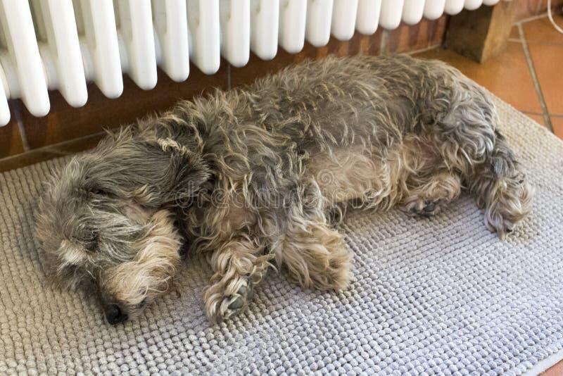 休眠达克斯猎犬 免版税图库摄影