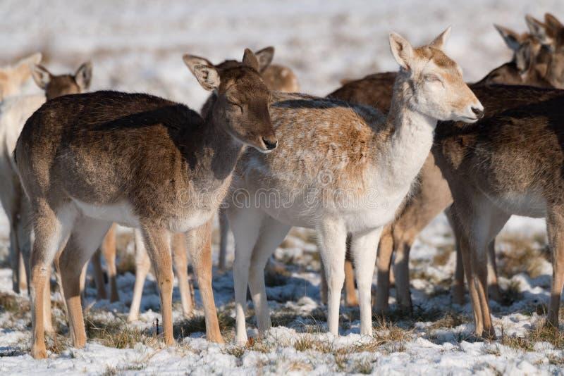 休耕和马鹿肩并肩在雪 库存照片