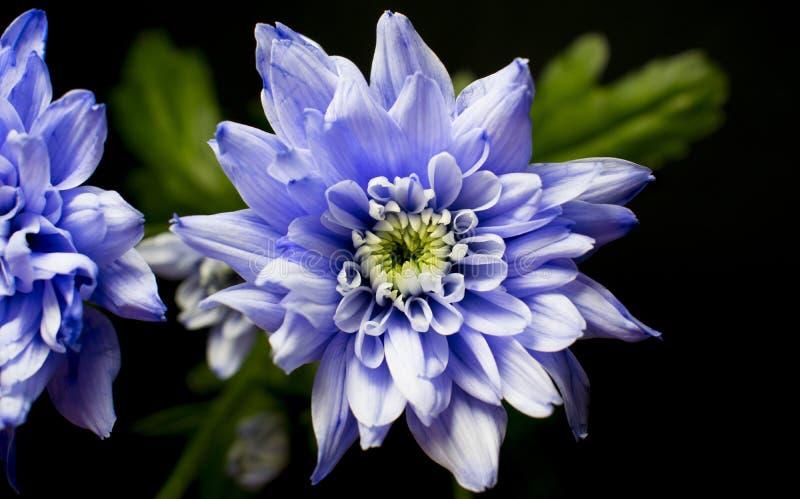 优秀紫罗兰色Chrysanth,几乎流动 库存照片