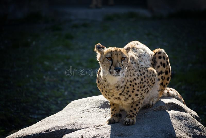 优美的猎豹 库存照片