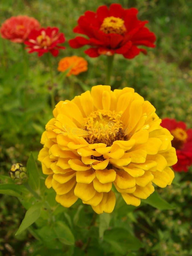 优美的百日菊属 免版税库存图片