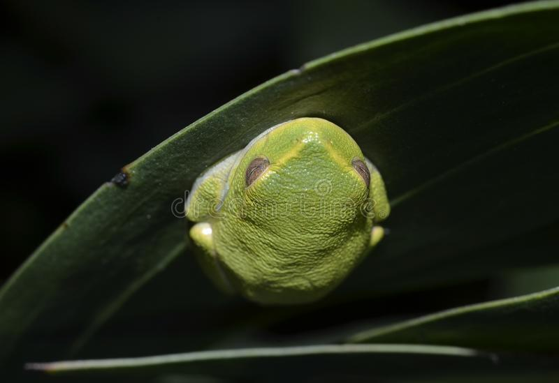 优美的雨蛙 免版税库存照片