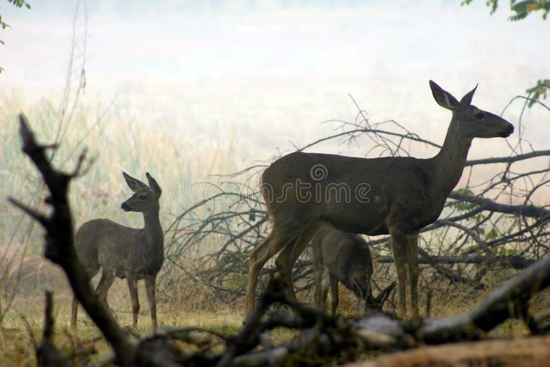 优胜美地大型装配架& x28; Deer& x29; 库存照片