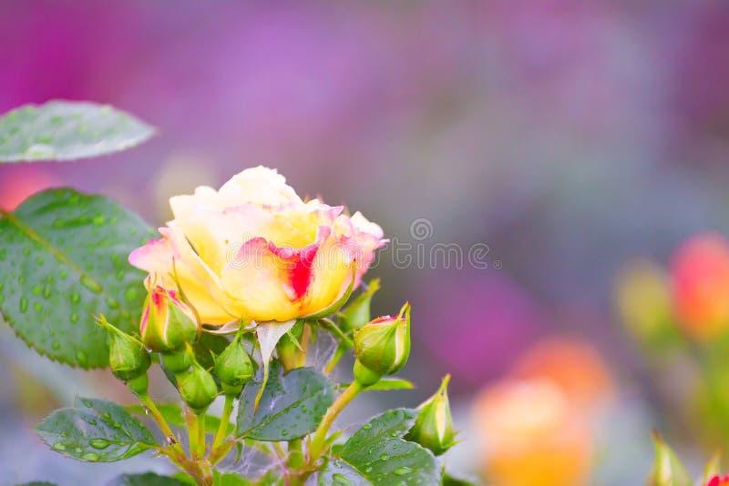 优质玫瑰在庭院里 免版税图库摄影
