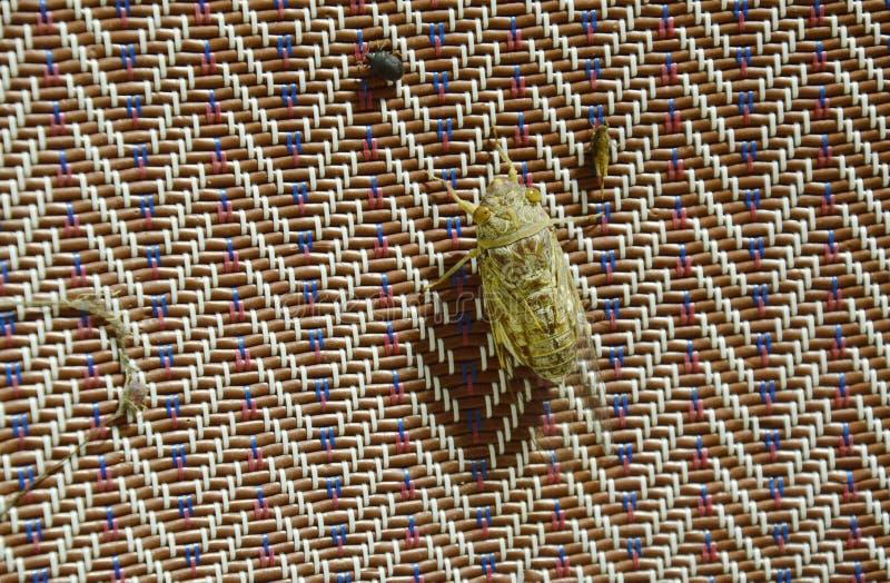 伙伴的蝉寻求在垂悬在竹席子的夏夜 免版税库存图片