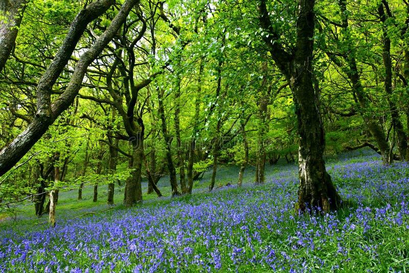 会开蓝色钟形花的草仙境 库存照片