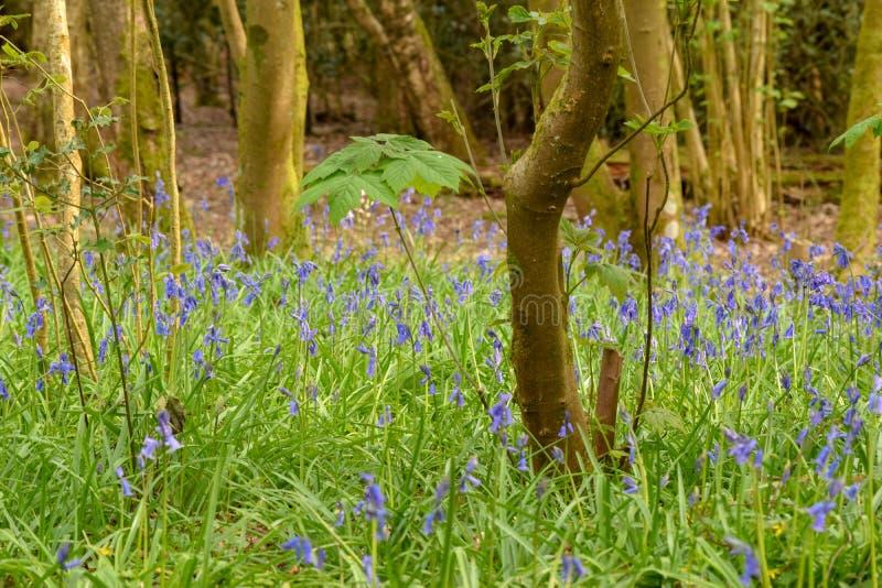 会开蓝色钟形花的草在森林,Henfield共同性 库存照片