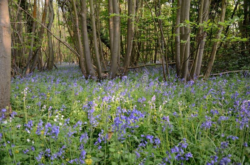 会开蓝色钟形花的草在森林 免版税库存照片