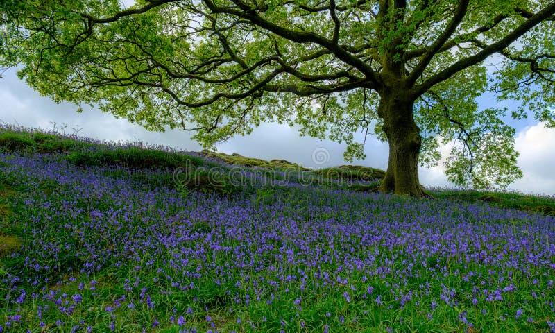 会开蓝色钟形花的草在橡树下 库存照片