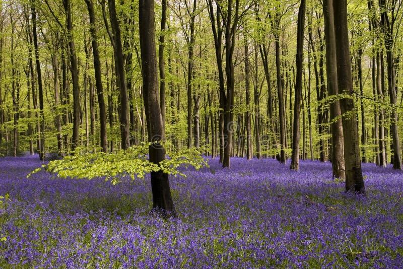 会开蓝色钟形花的草地毯 图库摄影