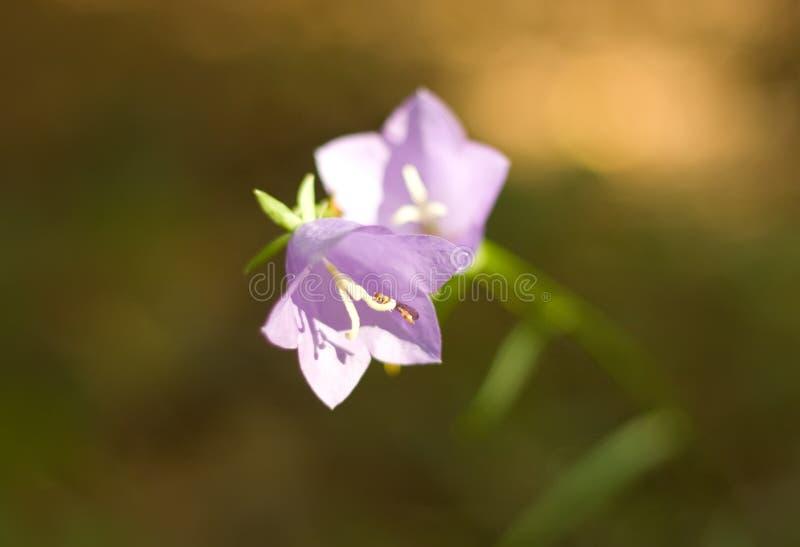 会开蓝色钟形花的草小二 免版税库存图片