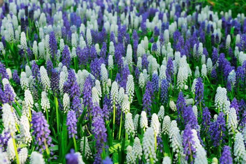 会开蓝色钟形花的草开花河 库存图片