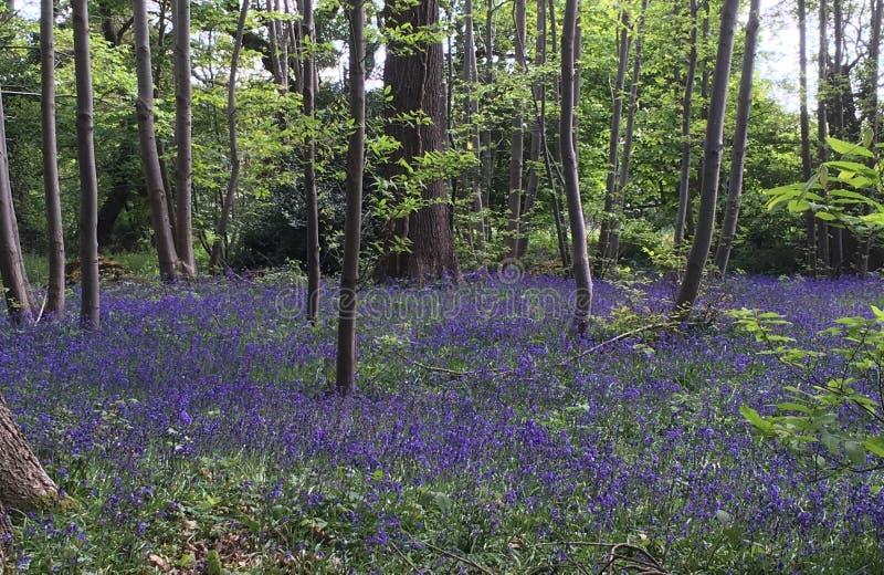 会开蓝色钟形花的草木头在春天 库存照片
