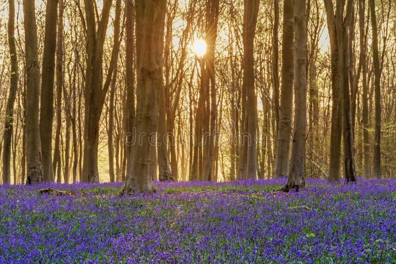 会开蓝色钟形花的草森林地日出 库存照片