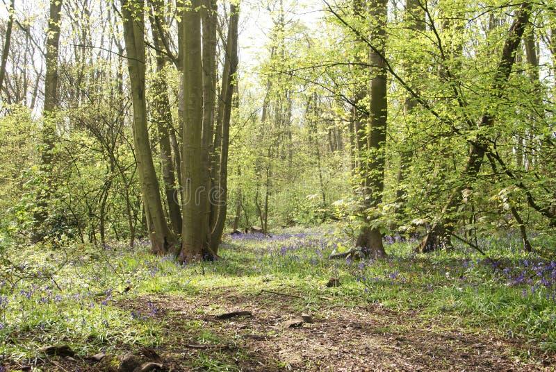 会开蓝色钟形花的草森林地 免版税图库摄影