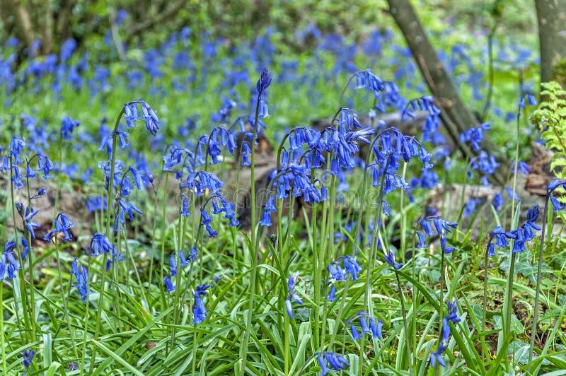 会开蓝色钟形花的草森林 免版税库存照片