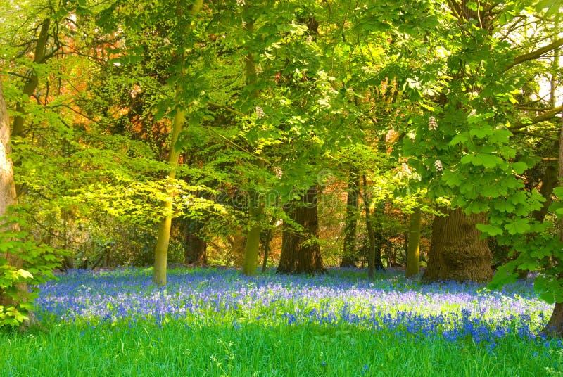 会开蓝色钟形花的草沼地 图库摄影